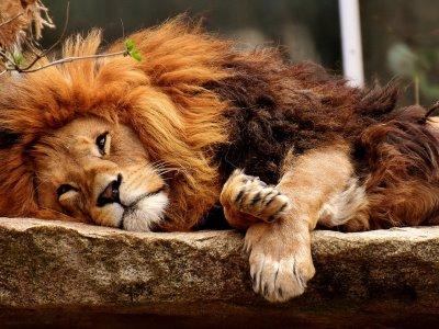 Entspannter Löwe Jahresplanung